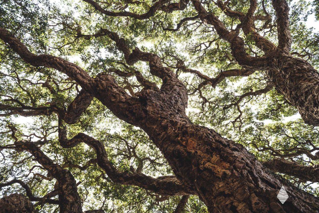 Photo d'un chêne-liège en Corse