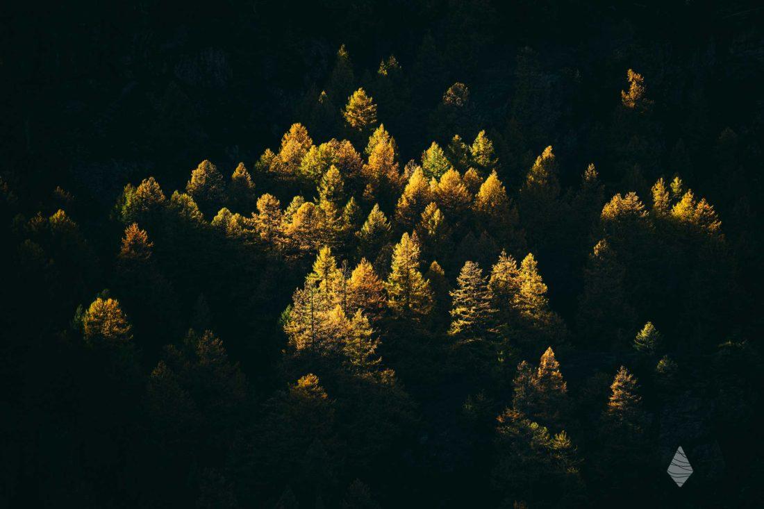 Photos de Mélèzes illuminés en automne par un rayon de soleil.