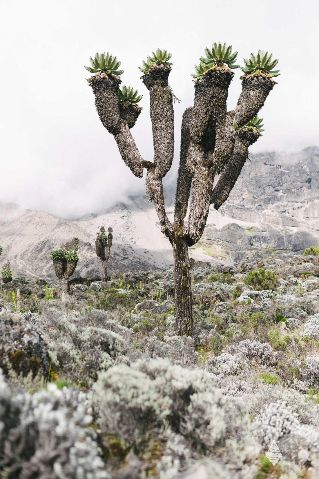 Photo d'un séneçon géant sur les pentes du volcan Kilimandjaro